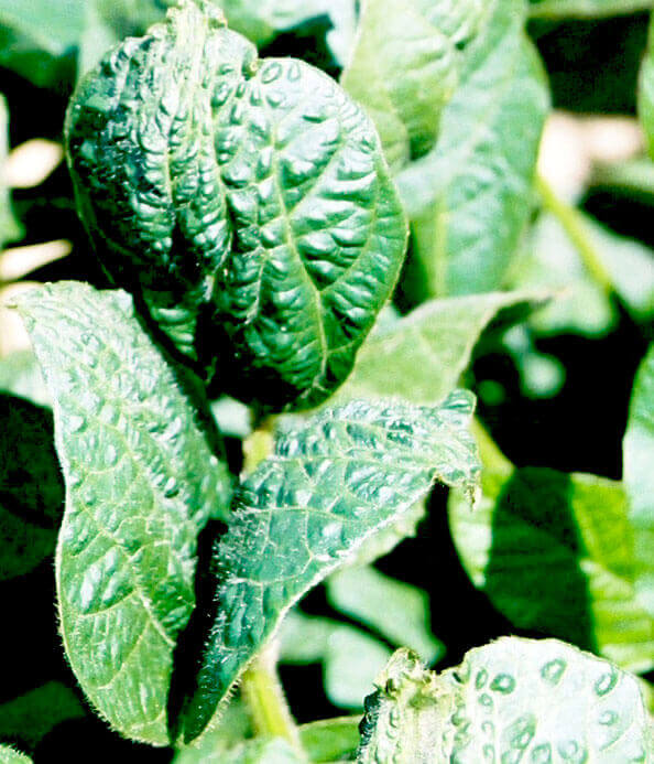 Soybean with Quinclorac Direct application