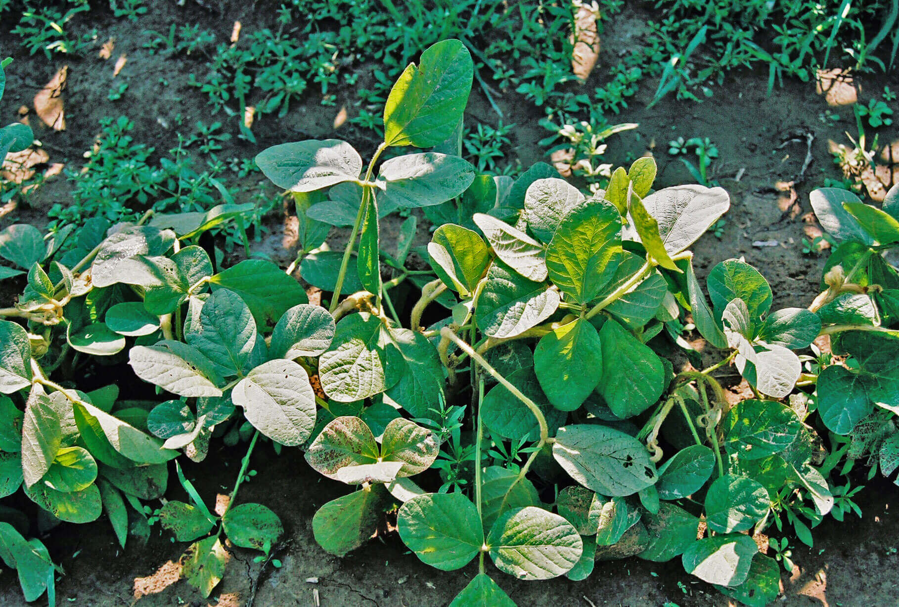 Soybean with Triclopyr Direct application