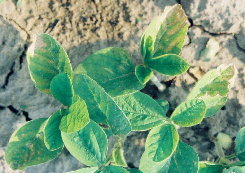 Soybean with Atrazine Direct Application