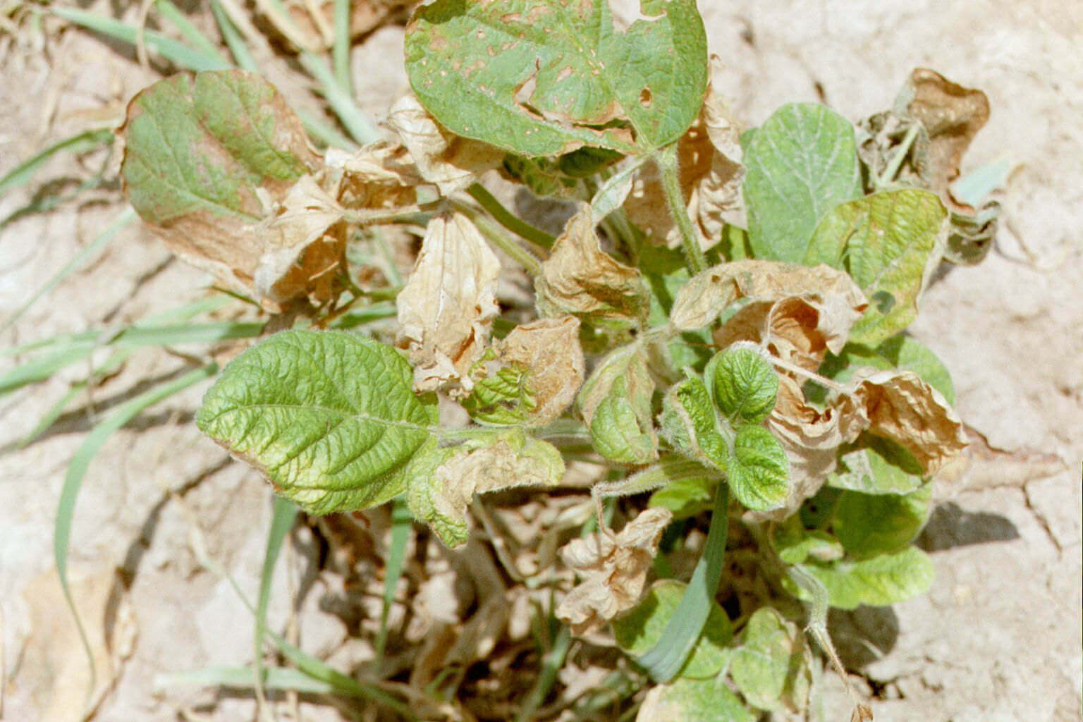 Soybean with Propanil Direct application