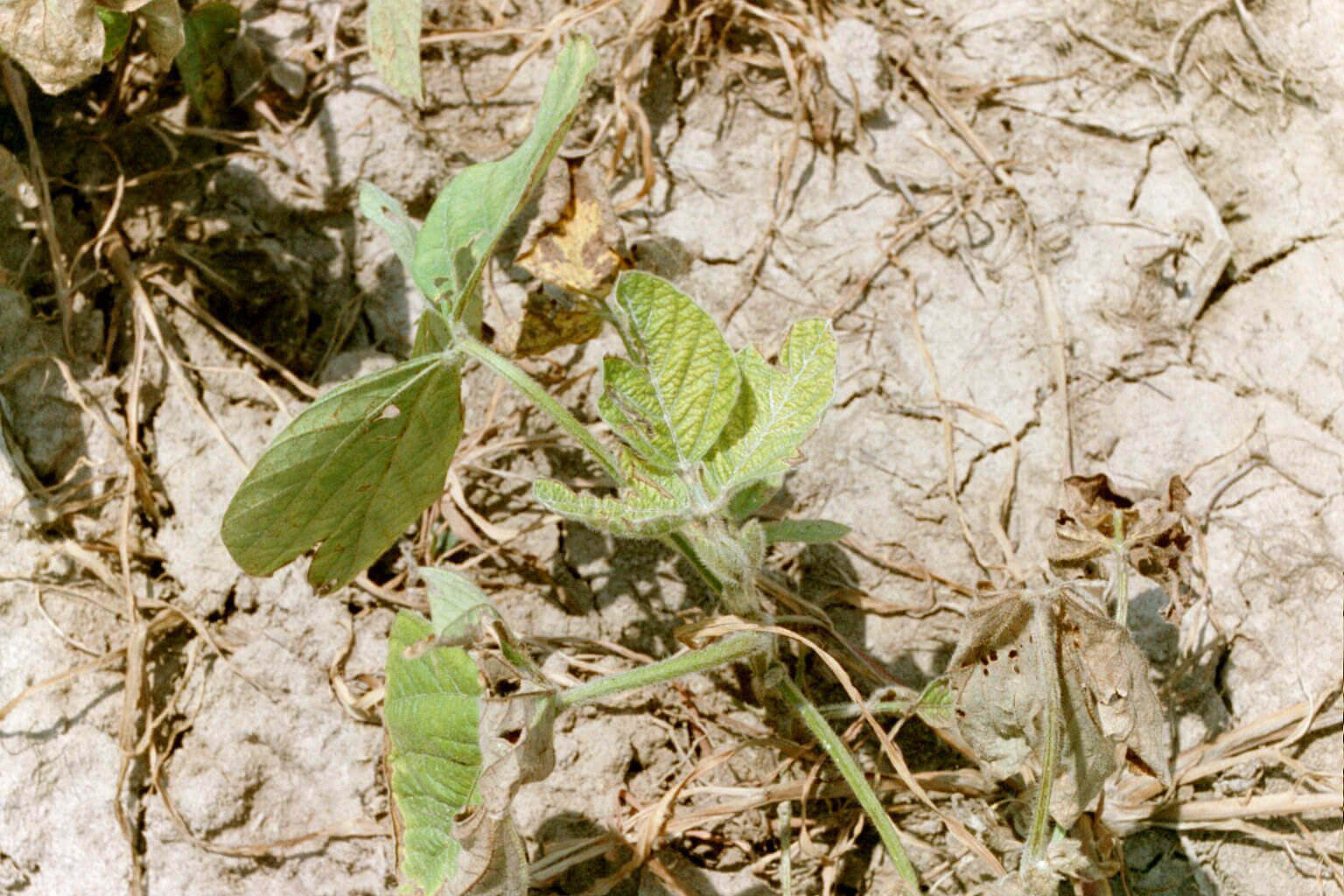 Soybean with Glyphosate Direct Application