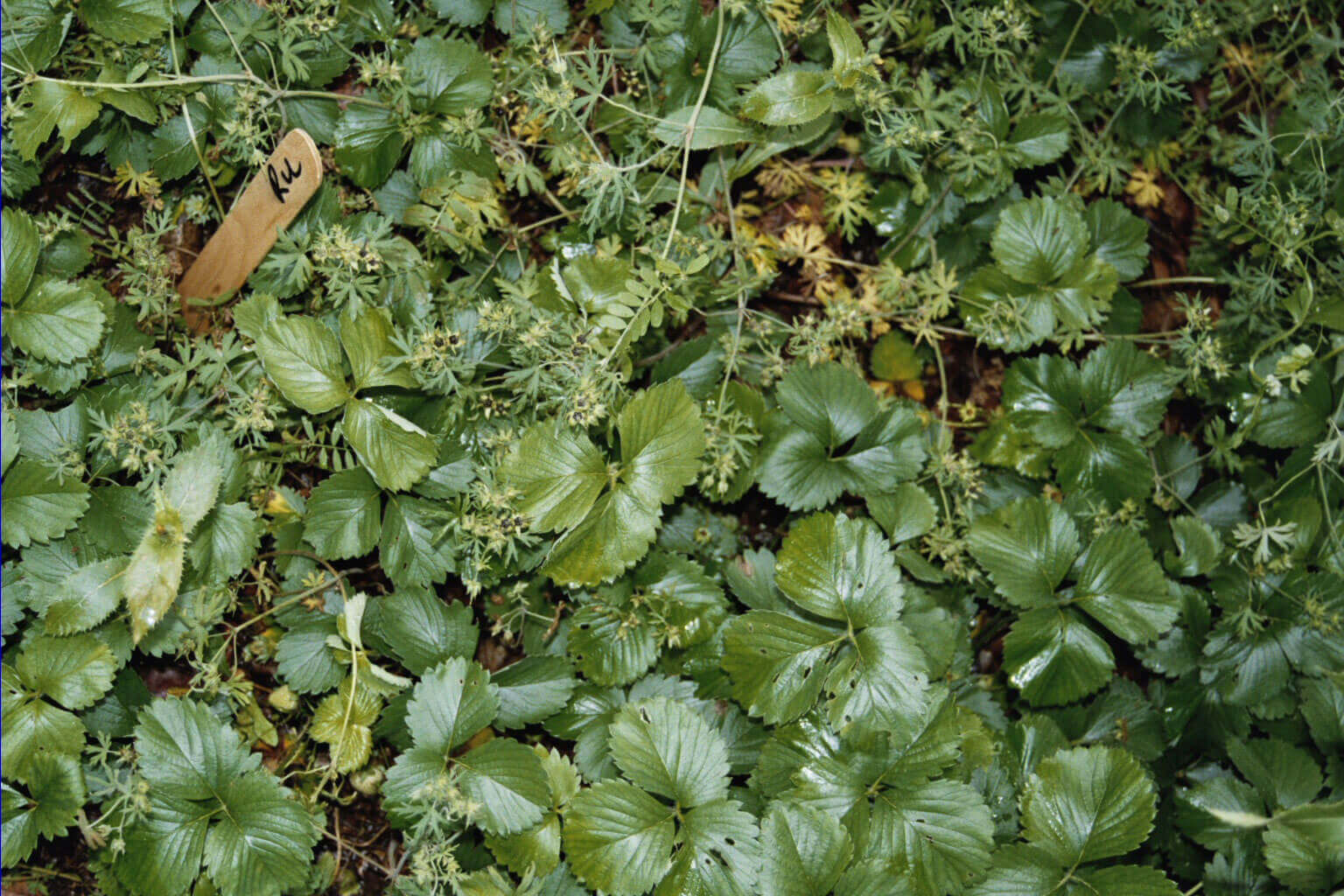 Strawberry with Glyphosate Direct Application