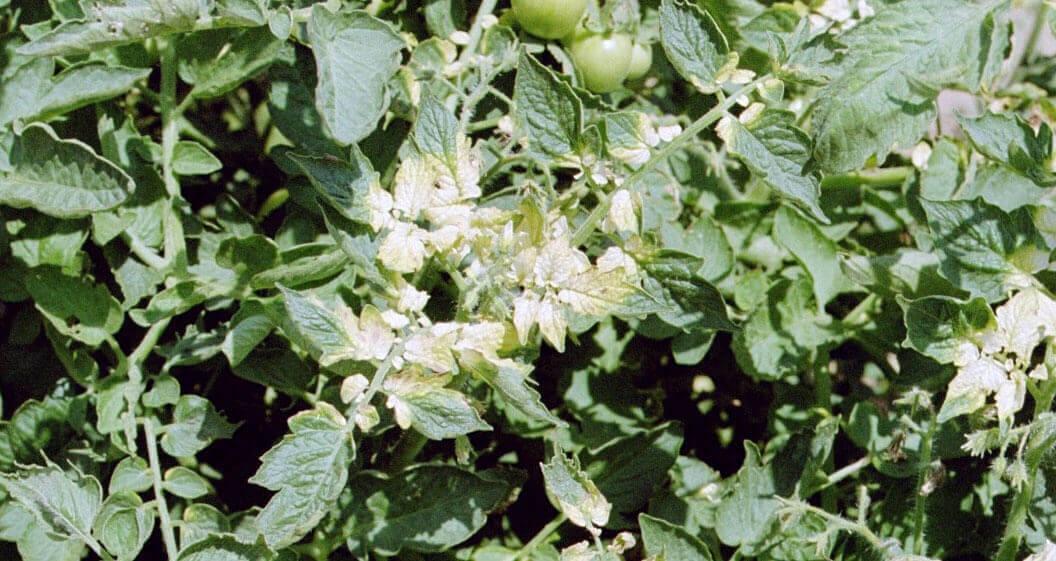 23 Tomato with Clomazone Direct Application
