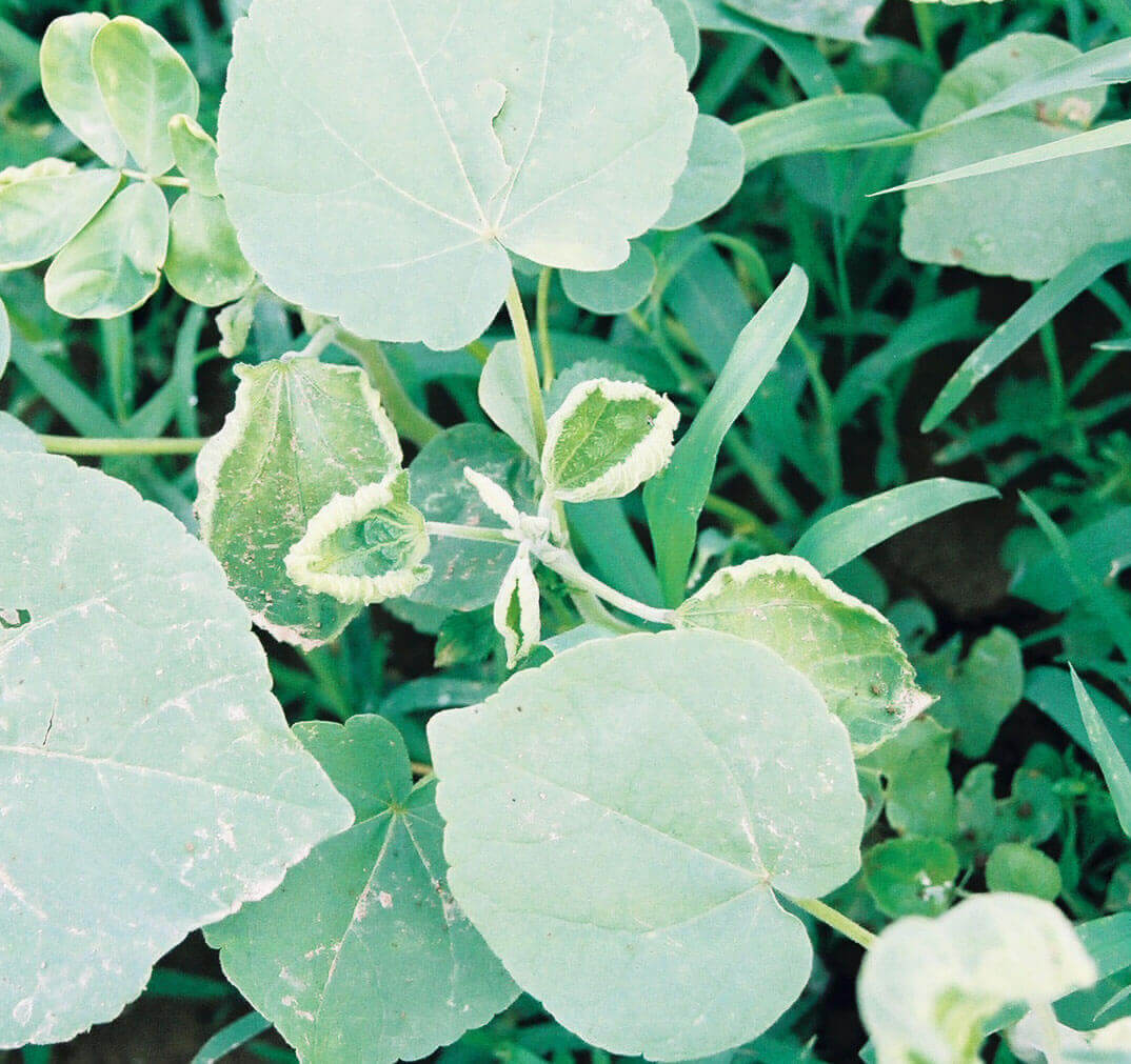 Velvetleaf with Dicamba Direct Application