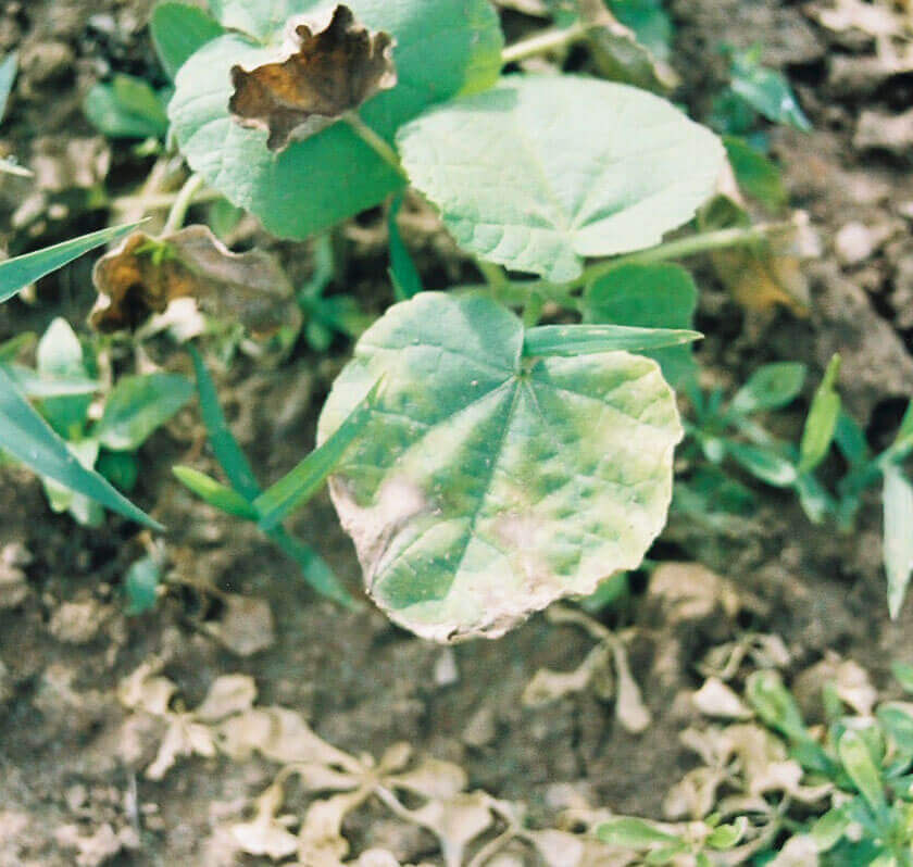 Velvetleaf with Atrazine Direct Application