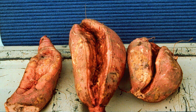 Yams with Chlorimuron Direct Application