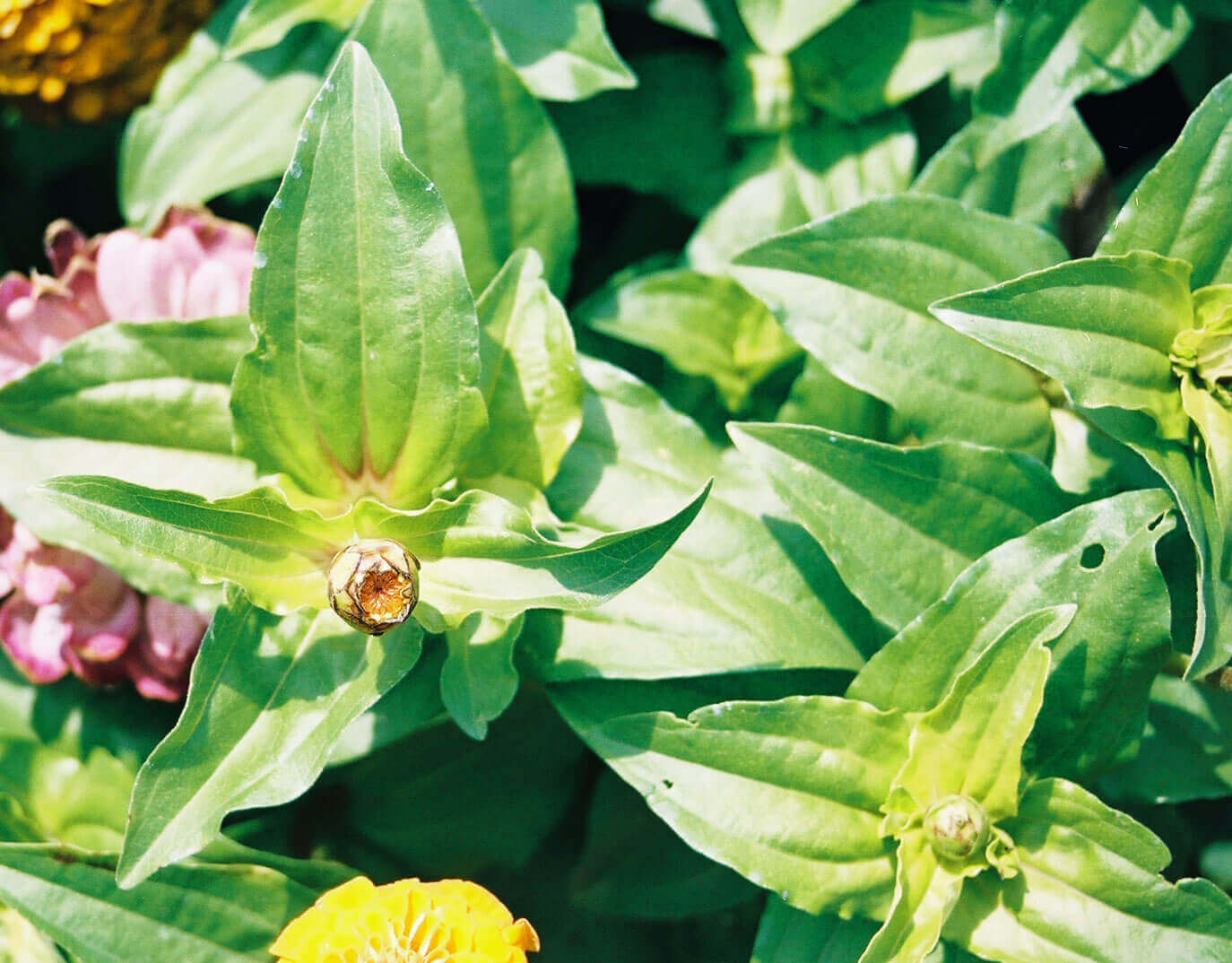 Zinnia with Halosulfuron Direct Application