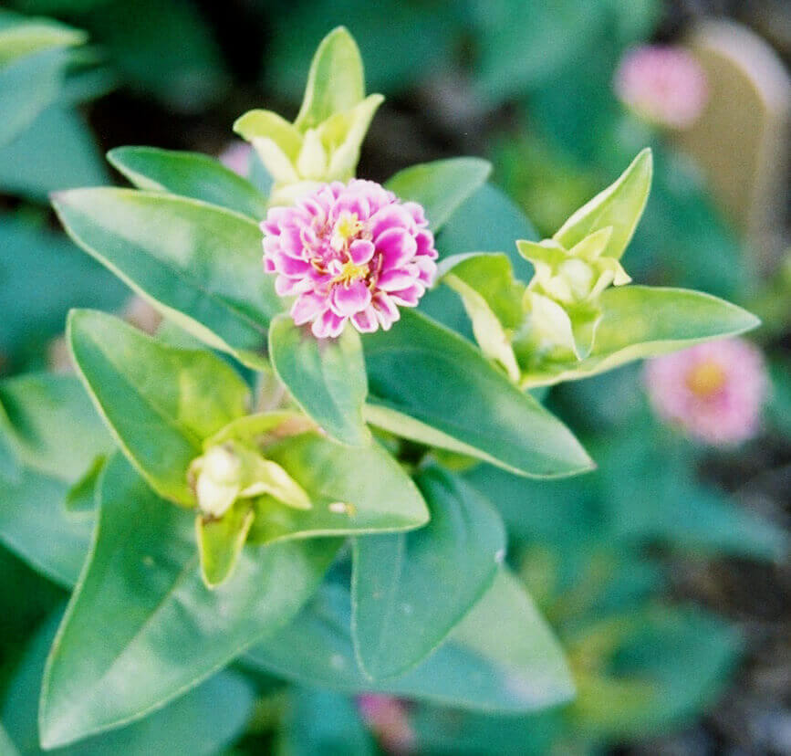 Zinnia with Glyphosate Direct Application