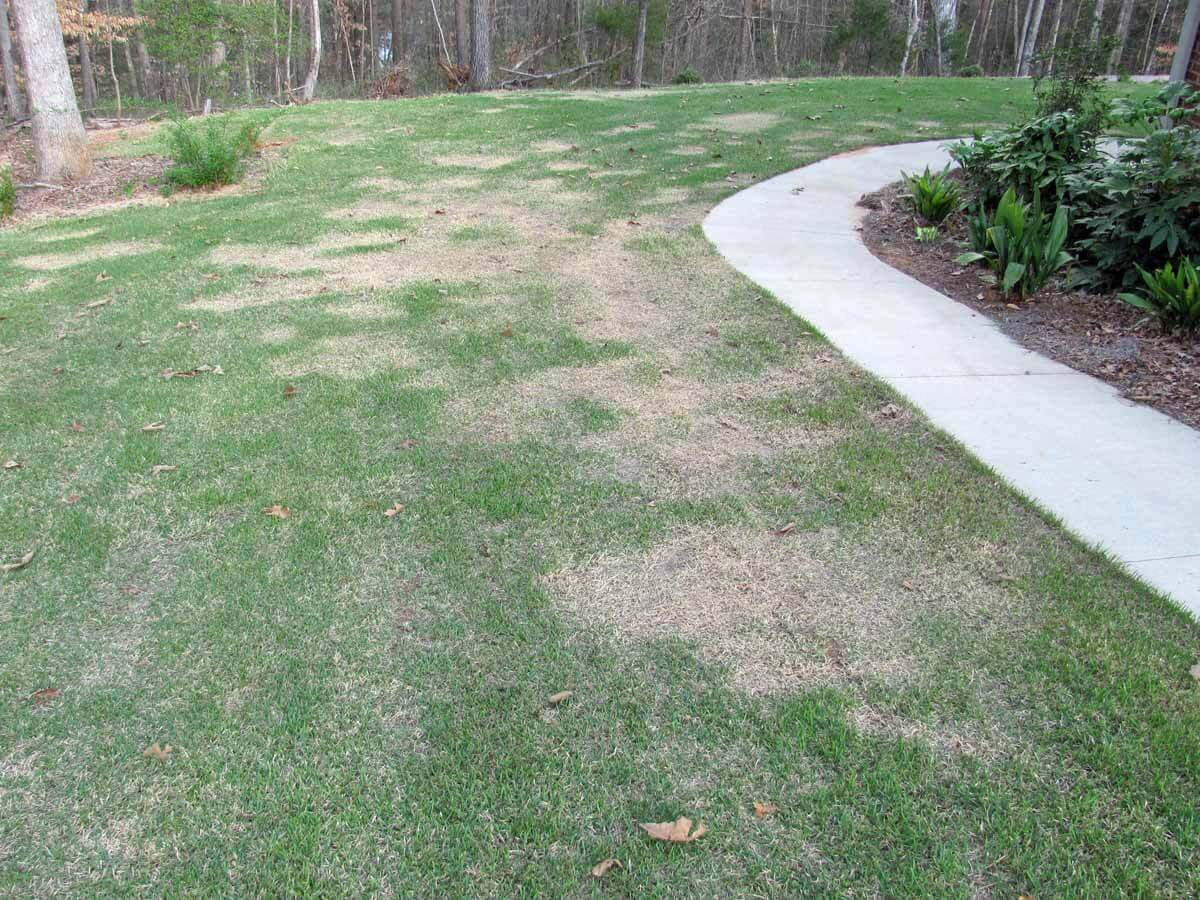 Zoysia with Glyphosate Direct Application