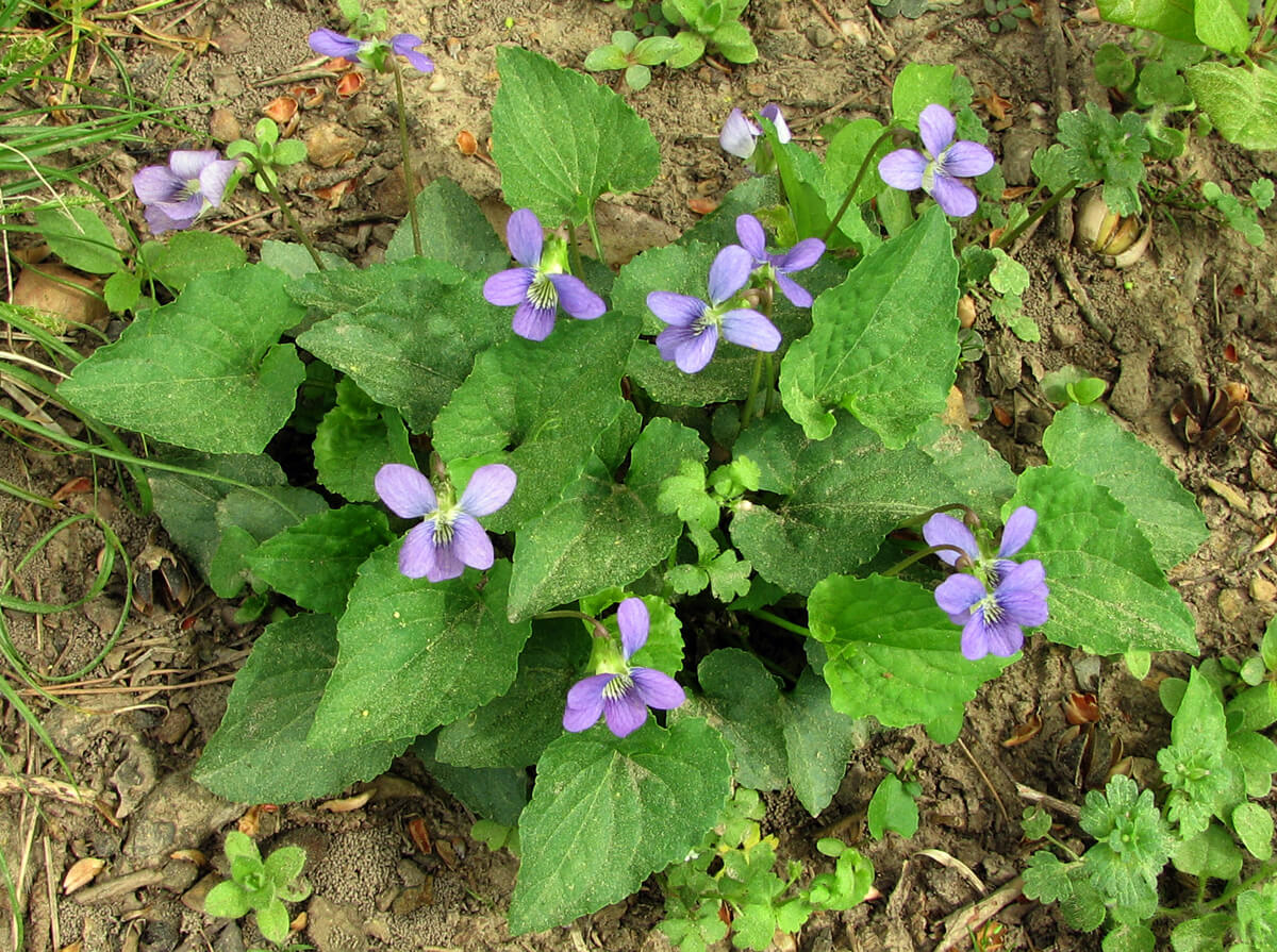 Viola pratincola