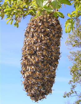 honey bee swarm resting in a tree