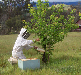 Beekeeper has a box beehive sitting beside a tree in a field while collecting a swarm of bees; beekeeper is wearing head-to-toe protective gear that has mesh across the front of the mask.