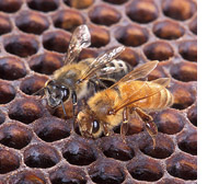 Africanized honey bee and European honey bee together