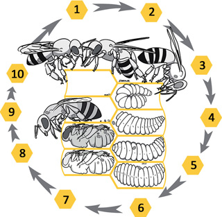 life cycle of Varroa destructor