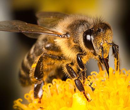 Explore Honey Bees