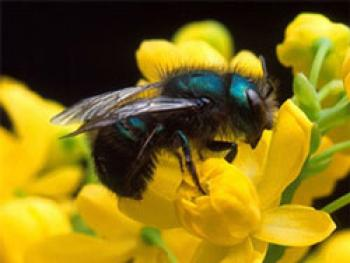 Black bee with bluish color on back of head & body sitting on a yellow flower.