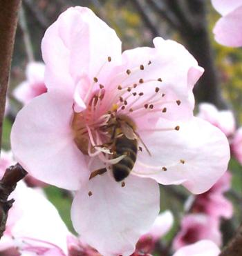 Honey bee in the center of a light pink flower