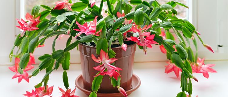 Read the FAQs on popular holiday plants.
