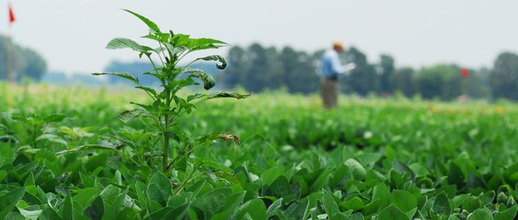Learn the latest about combating pigweed.