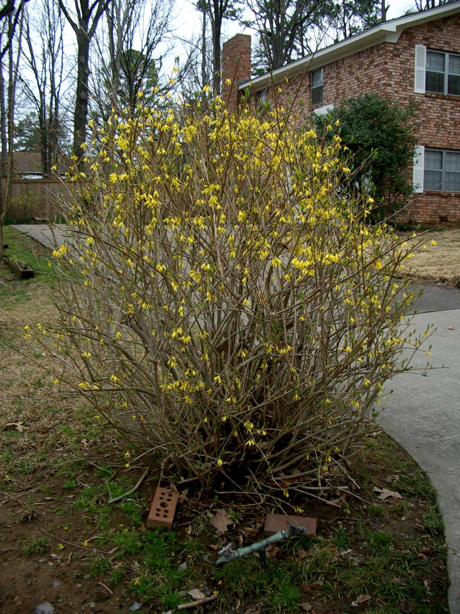 How To Prune Forsythia Correct Way To Prune Forsythia In