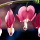 Thumbnail picture closeup of Bleeding Heart (Dicentra spectabilis) red and white flowers  Select for larger images and more information.