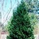 Thumbnail picture of Leyland Cypress (X Cupressocyparis leylandii) pyramidal shrub form  Select for larger images and more information.