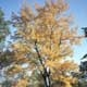 Thumbnail picture of Silver Maple (Acer saccharinum) tree in yellowish fall color  Select for larger images and information.