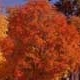 Thumbnail picture of Sugar Maple (Acer saccharum) tree in bright orange fall color  Select for larger images and information.