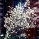 Thumbnail picture of Shadblow (Amelanchier canadensis) tree in white spring fowers.  Select for larger images and information.