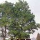 Thumbnail picture of Southern Hackberry (Celtis laevigata) tree.  Select for larger images and information.
