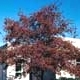 Thumbnail picture of Washington Hawthorn (Crataegus phaenopyrum) tree in red fall color  Select for larger images and more information.