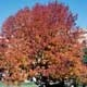 Thumbnail picture of White Ash (Fraximus americana) tree in orange fall color  Select for larger images and more information.