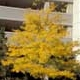 Thumbnail picture of Thornless Common Honeylocust (Gleditsia triacanthos var. inermis) tree in yellow fall color  Select for larger images and more information.