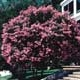 Thumbnail picture of Crapemyrtle (Lagerstroemia indica).  Select for larger images and more information.