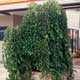 Thumbnail picture of Weeping White Mulberry (Morus alba 'Pendula') tree.  Select for larger images and more information.