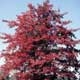 Thumbnail picture of Blackgum (Nyssa sylvatica) tree in red fall color Select for larger images and information.