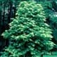 Thumbnail picture of Sourwood (Oxydendrum arboreum) tree.  Select for larger images and more information.