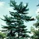 Thumbnail picture of Eastern White Pine (Pinus strobus) tree.  Select for larger images and more information.