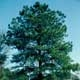 Thumbnail picture of Loblolly Pine (Pinus taeda) tree.  Select for larger images and more information.