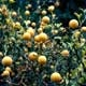 Thumbnail picture of Hardy-Orange (Poncirus trifoliata) limbs bearing orange fruit  Select for larger images and more information.