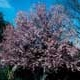 Thumbnail picture of Purpleleaf Plum (Prunus cerasifera 'Atropurpurea') tree with pink spring flowers  Select for larger images and more information.