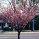 Thumbnail picture of Flowering Cherry (Prunus serrulata 'Kwanzan') tree.  Select for larger images and more information.