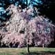 Thumbnail picture of Weeping Higan Cherry (Prunus subhiertella 'Pendula') tree with pink spring flowers  Select for larger images and more information.