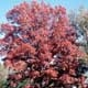 Thumbnail picture of White Oak (Quercus alba) tree in dull orange fall color  Select for larger images and more information.