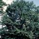 Thumbnail picture of Water Oak (Quercus Nigra) tree.  Select for larger images and more information.