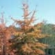 Thumbnail picture of Willow Oak (Quercus phellos) tree in orange fall color  Select for larger images and more information.