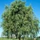 Thumbnail picture of Corkscrew Willow (Salix matsudana 'Tortuosa').  Select for larger images and more information.