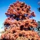 Thumbnail picture of Baldcypress (Taxodium distichum) tree in fall color  Select for larger images and information.