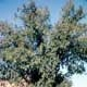 Thumbnail picture of Chinese Elm (Ulmus parvifolia).  Select for larger images and information.