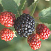 Berries | Fruits & Nuts | Yard & Garden | Cooperative Extension Service | Arkansas